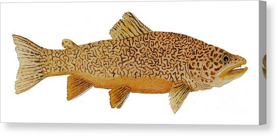 Study Of A Tiger Trout Canvas Print
