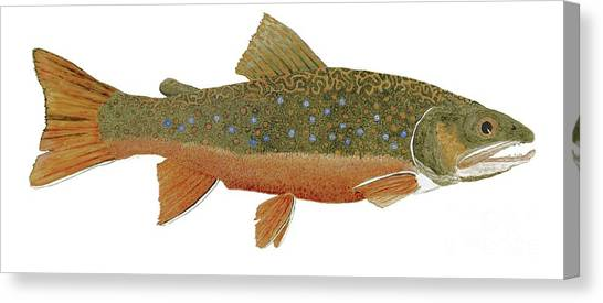 Study Of An Wild Eastern Brook Trout  Canvas Print