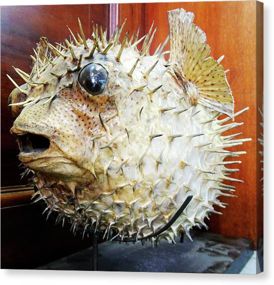 Life-threatening Canvas Print - Stuffed Porcupinefish by Ucl, Grant Museum Of Zoology