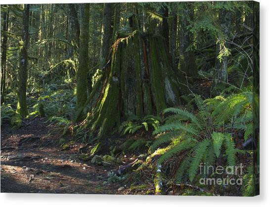 Stump And Fern Canvas Print by Sharon Talson