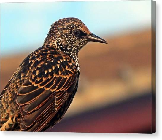 Starlings Canvas Print - Stunning Starling  by Maria Lamb