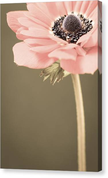 Subdued Anemone Canvas Print