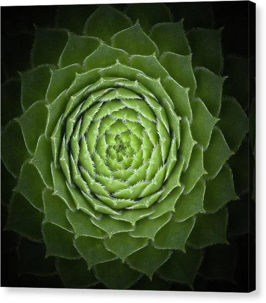 Fibonacci Canvas Print - Succulent by Victor Mozqueda