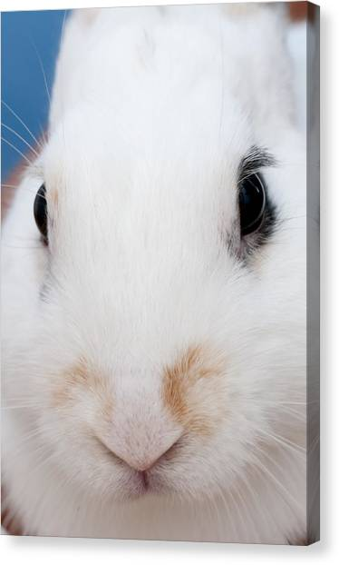 sugar the easter bunny 1 -A curious and cute white rabbit close up Canvas Print