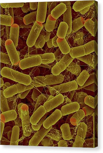 Sulfitobacter Pontiacus Canvas Print by Dennis Kunkel Microscopy/science Photo Library