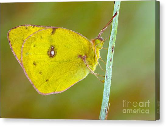 Sulfur Butterfly Canvas Print - Sulfur Butterfly by Larry West