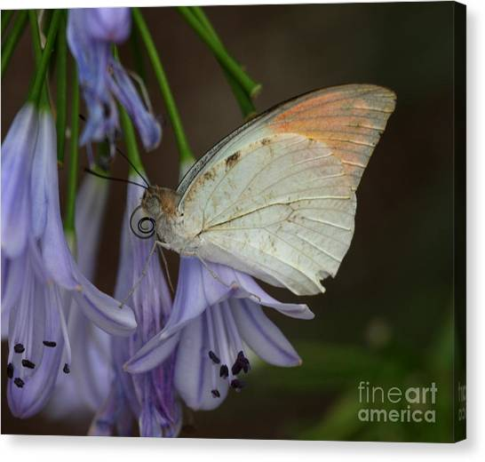 Sulfur Butterfly Canvas Print - Sulfur On The Edge by Ruth Jolly