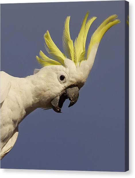 Cockatoo Canvas Print - Sulphur-crested Cockatoo Displaying by Martin Willis