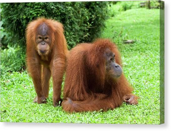 Orangutans Canvas Print - Sumatran Orangutans by Tony Camacho/science Photo Library