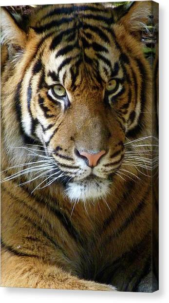 Sumatran Tiger Junior Canvas Print