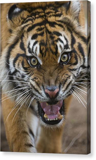 Animal Behaviour Canvas Print - Sumatran Tiger Male Snarling Native by San Diego Zoo