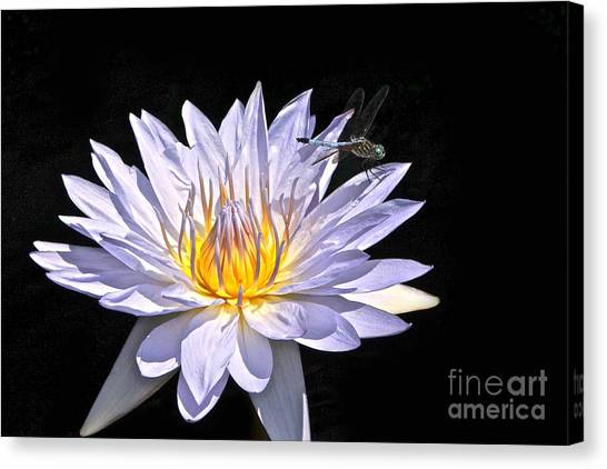 Summer Magic -- Dragonfly On Waterlily On Black Canvas Print