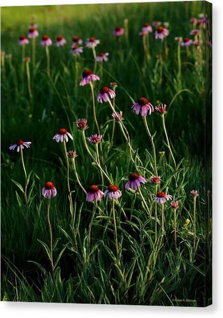 Summer Of Echinacea Canvas Print