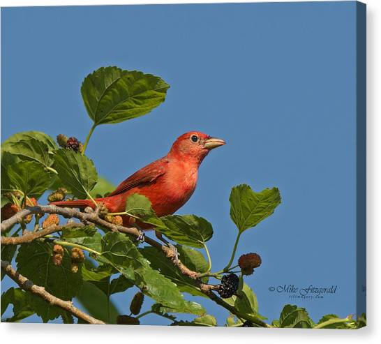 Summer Tanager Canvas Print by Mike Fitzgerald