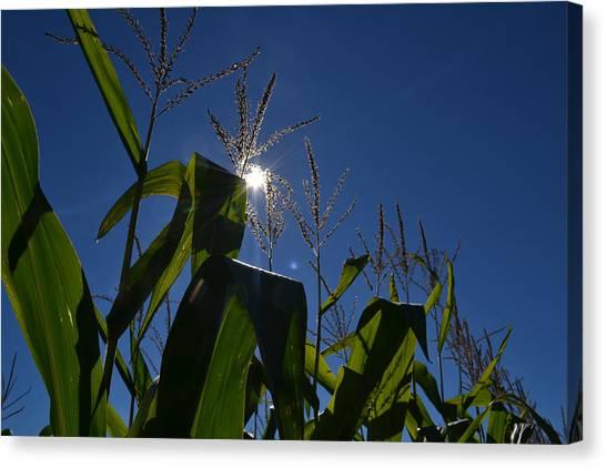 Sun Above The Corn  Canvas Print
