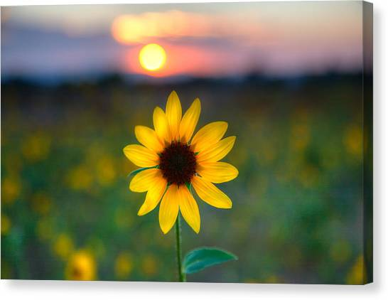 Sun Flower Iv Canvas Print
