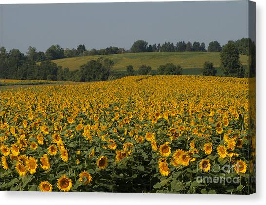 Sun Flower Sea Canvas Print