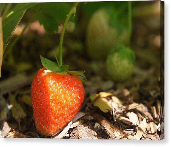 Sun Kissed Strawberry Canvas Print
