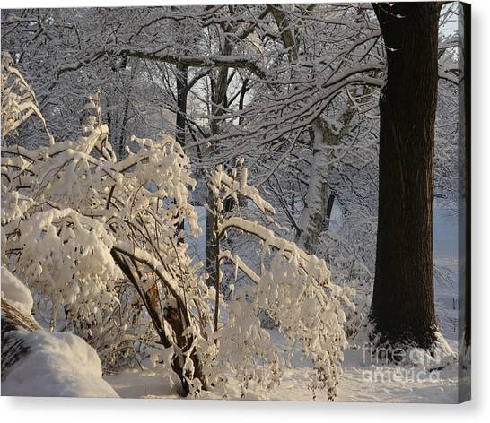 Sun On Snow Covered Branches Canvas Print