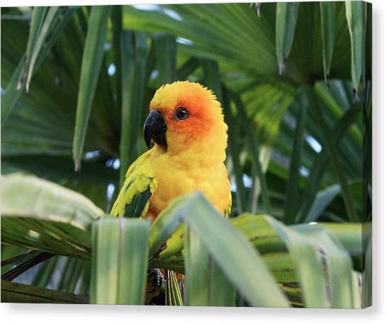 Parakeets Canvas Print - Sun Parakeet In A Palm Tree by Brian Gadsby/science Photo Library