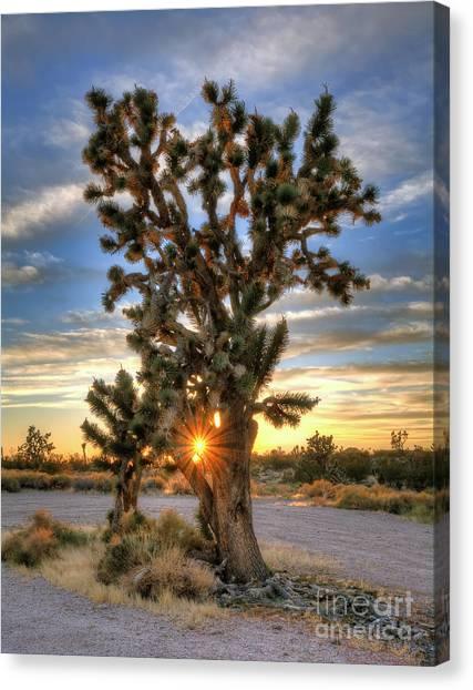 Sun Rays Through A Joshua Tree Canvas Print by Eddie Yerkish