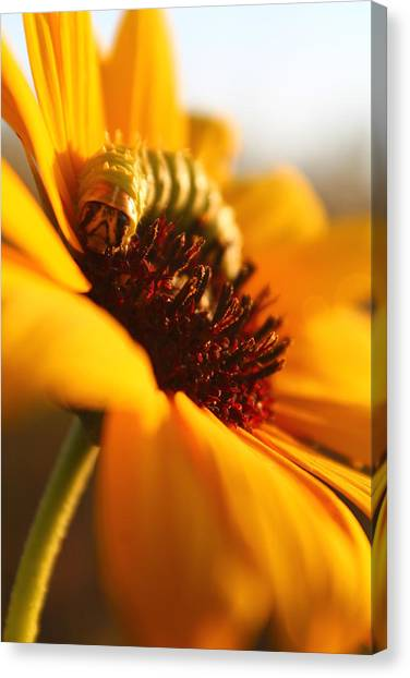 Sunbathing Caterpillar Canvas Print