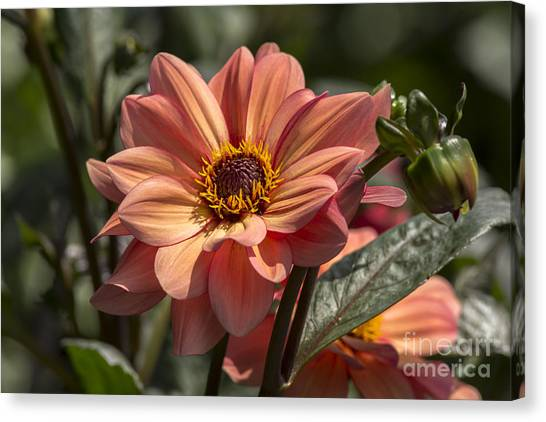 Sunbathing Dahlia Canvas Print