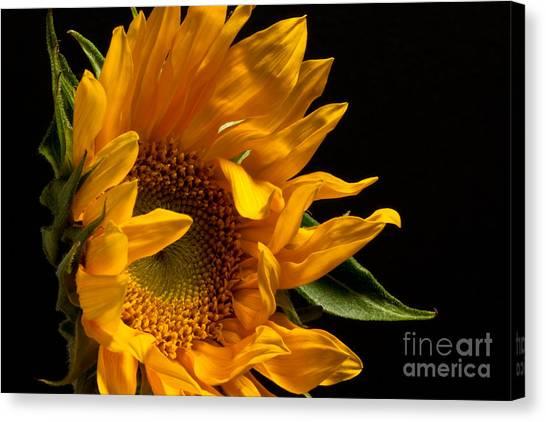 Sunflower 2010 Canvas Print