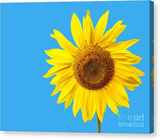 Sunflowers Canvas Print - Sunflower Blue Sky by Edward Fielding