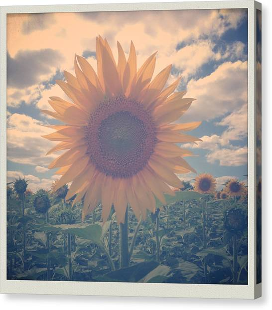 Farmers Canvas Print - Sunflower by Candace Fowler