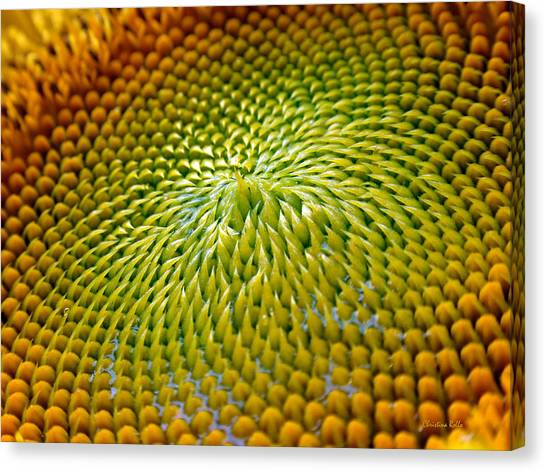 Sunflower Canvas Print - Sunflower  by Christina Rollo