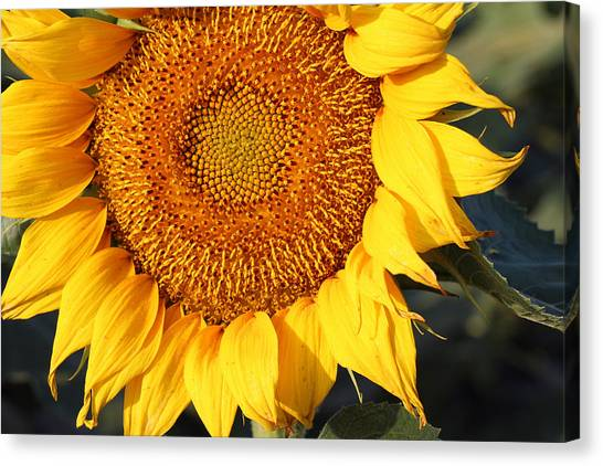 Sunflower - Closeup Canvas Print