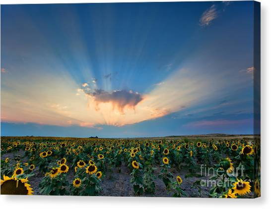 Sunflower Field At Sunset Canvas Print
