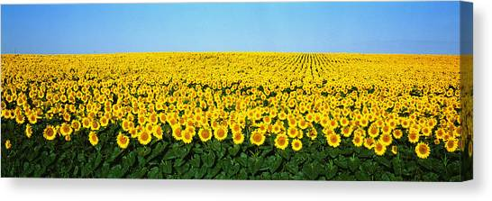 Sunflowers Canvas Print - Sunflower Field, North Dakota, Usa by Panoramic Images