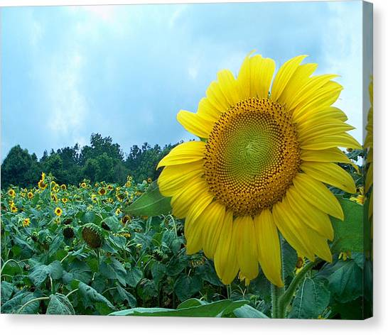 Sunflower Field Of Yellow Sunflowers By Jan Marvin Studios  Canvas Print