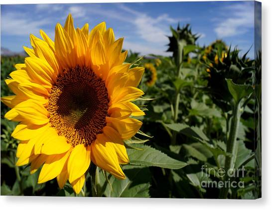 Sunflower Glow Canvas Print