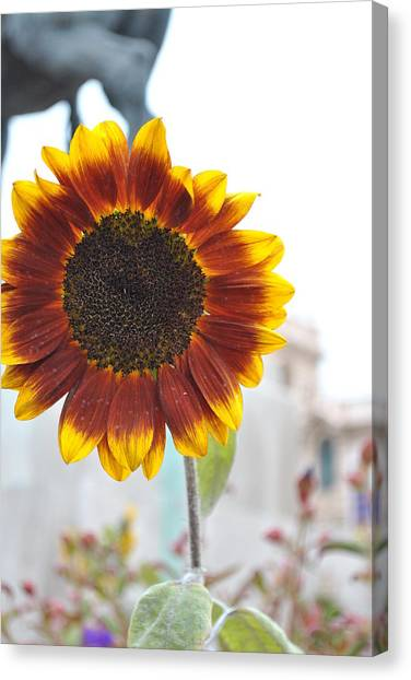Sunflower In Balboa Park Canvas Print by Misty Stach