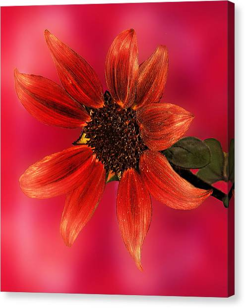 Sunflower In Red Canvas Print by Viktor Savchenko