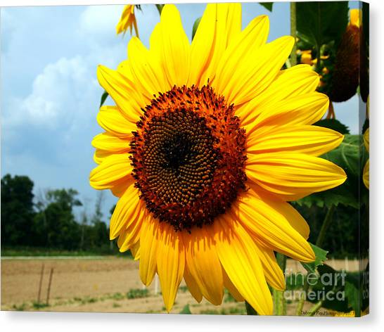 Sunflower In Summer Canvas Print