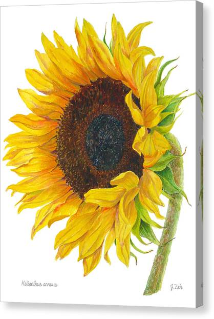 Sunflower - Helianthus Annuus Canvas Print