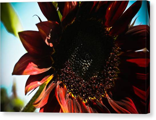 Sunflower Canvas Print by Joel Loftus