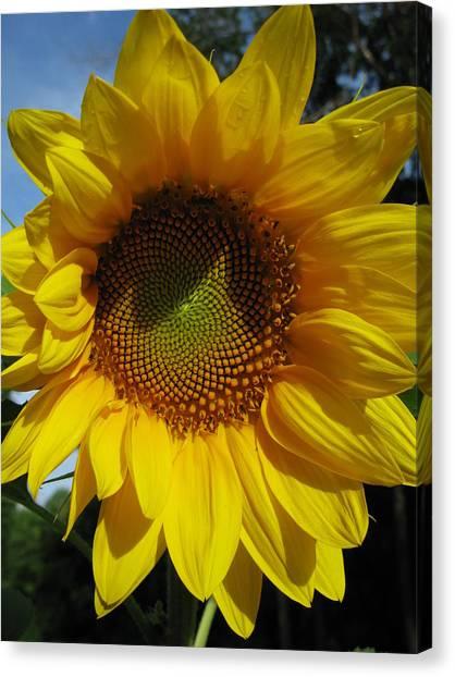 Sunflower  Canvas Print by Laura Corebello