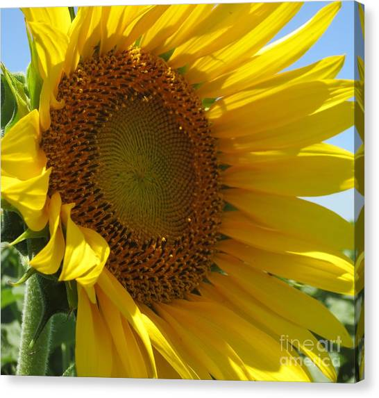 Sunflower Canvas Print by Lne Kirkes