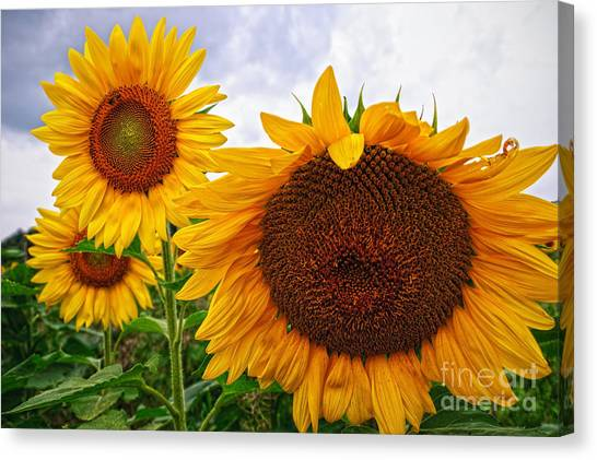 Sunflower Mama And Her Daughters  Canvas Print