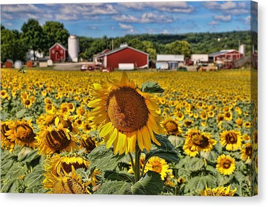 Sunflower Nirvana 21 Canvas Print