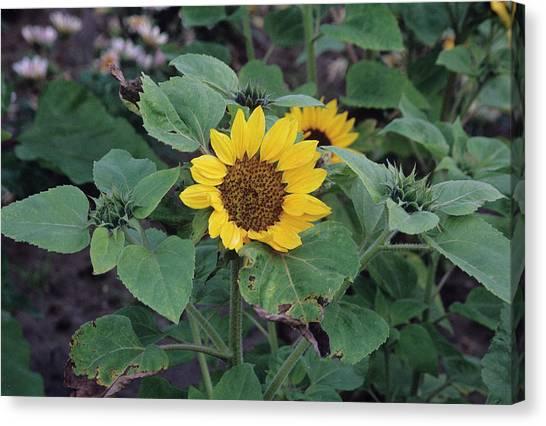 Prado Canvas Print - Sunflower 'prado Yellow' by A C Seinet/science Photo Library