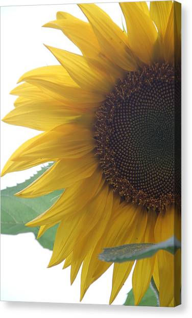 Sunflower Canvas Print by Rebecca Powers