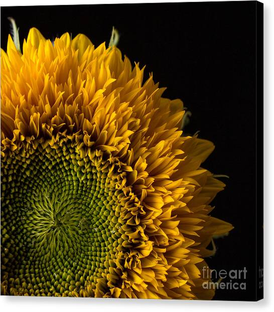 Sunflower Seeds Canvas Print - Sunflower Square by Edward Fielding