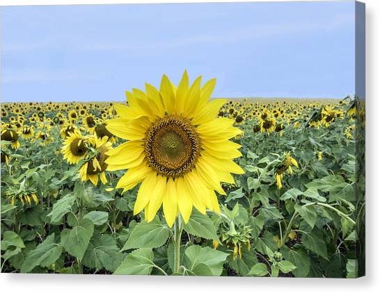Sunflower Star Of The Show Canvas Print