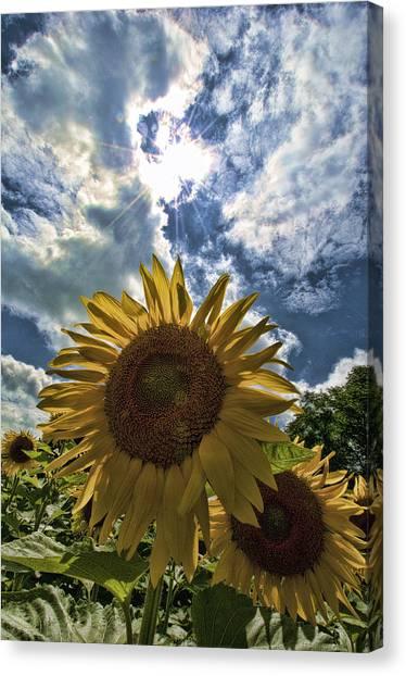 Sunflower Study 1 Canvas Print by Mitchell Brown
